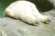 hangover-polar-bear